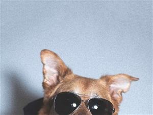 想�I�B一只短毛小型犬幼犬