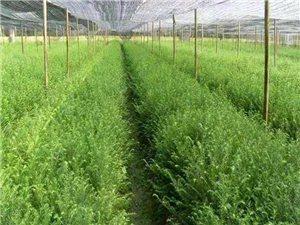红豆杉苗出售