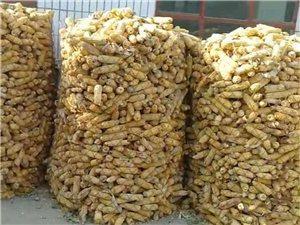 本人有大量玉米出售有需要的联系我