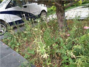 玉泽湖公园里面种植有类似罂粟的花卉,谁来监管?