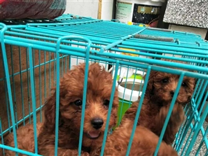 出售泰迪狗