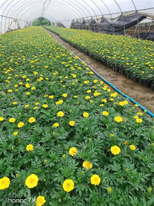 因西安有园林绿化公司 新花棚8亩地转让 去年9月建的棚 价位好说