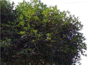 桂花树出售