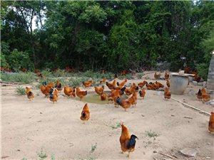 出售。散养腌鸡