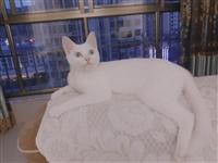 二手猫一只   本人因马上要去读书   不能养了  猫砂 猫粮  猫砂盆  猫窝  猫笼  所有猫的...