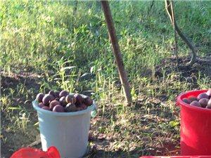 百香果成熟了