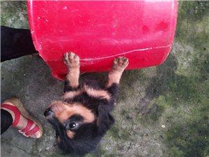 家有爱犬待出阁,泰迪混血儿两个月大,3只都是公联系电话15917886162