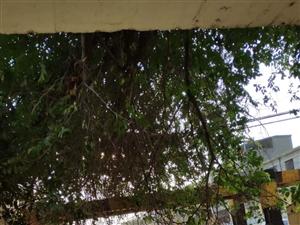 澳门金沙网址站车站涵洞西侧的树倒了
