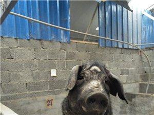 文县桥头镇各达地社生态猪、鸡火热销售中…