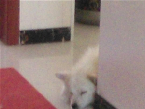 萨摩耶成母出售或换小狗