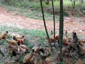 蕉岭高寨纯放养土鸡,老母鸡2~3年,5斤左右35元一斤,腌鸡龄1年,欢迎前来订购,订购越多优惠越多,