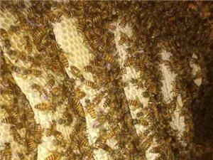 中华蜜蜂土蜂蜜