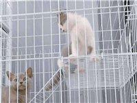 出售猫咪蓝猫蓝白