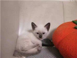 暹羅貓幼貓便宜出售