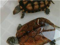 两母中华草龟