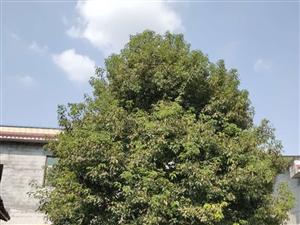 出售香樟树一棵。树高约10米,直径约30公分,联系方式17880207513低价处理了,在院坝落叶子...