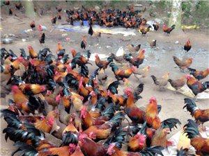 山鸡批发出售