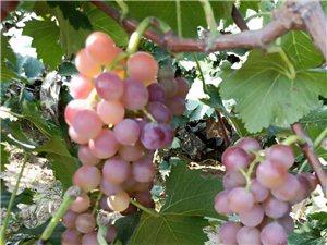 杞县葡萄熟了,想吃的约啦