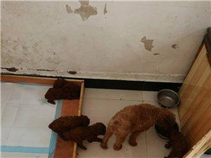 泰迪幼犬找新家