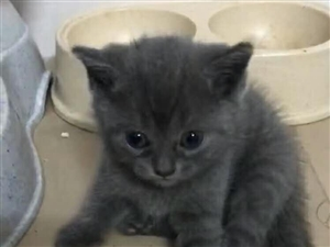 出售英短蓝猫、英短蓝白