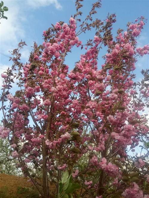 樱花树,红双樱,一米到一米二定杆,4到7公分粗地址是莱阳市沐浴店镇留寺庄村,