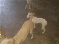 家養格力獵兔犬出售四個月大600元