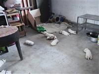 纯种拉布拉多狗崽出售
