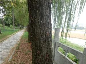 赶快救救这些多年的垂柳树吧