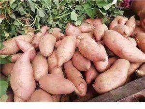 自家种的红薯