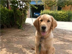 出售繁育犬