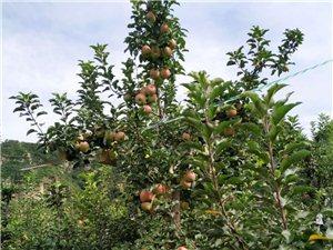 狼牙山口头村红富士苹果