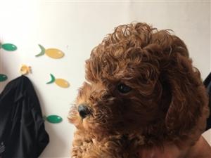 泰迪幼犬两个月大