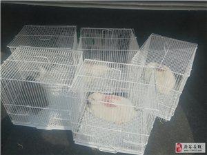 家养肉兔出售