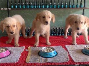 出售幼犬金毛 300