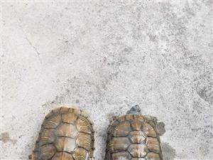 �芍淮�觚�11~12cm50元再送2只草��