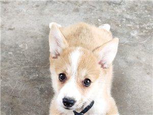 出售柯基犬