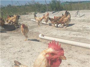 枸杞鸡开始销售