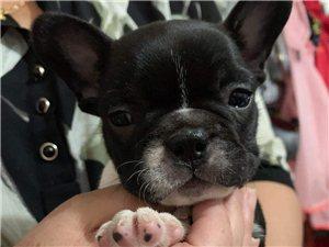 法斗幼犬出售