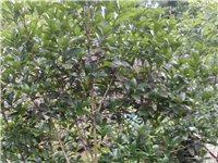 桂花树,3颗长相也可以看上的老板可以带走价格好商量