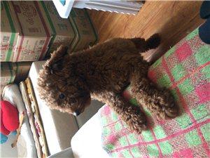 泰迪狗狗求领养