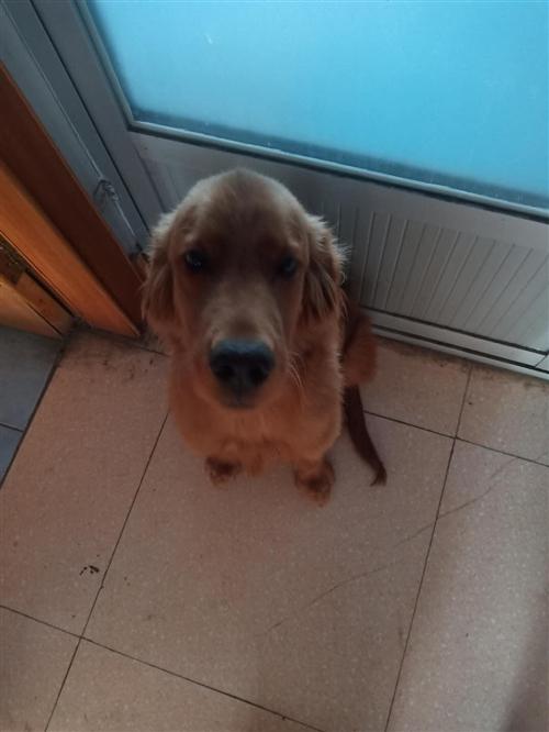 出售金毛一只六个多月大,最近比较忙,没有时间打理。忍痛割爱出售,寻找爱狗人士。