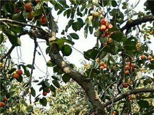 """杞县高阳镇团城村:小小红柿子却成了""""农民致富路上的红票子"""""""