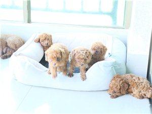 八所自家母泰迪生五只小幼犬