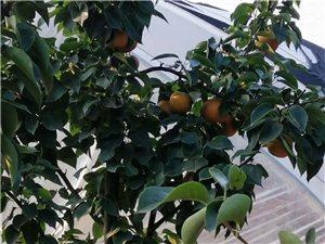 出售五年樹齡晚秋黃梨樹苗