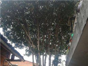 桂花树处理