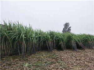 广西甘蔗批发零售
