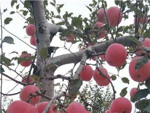 富士苹果??