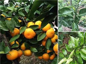 出售新品种柑橘苗