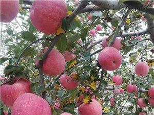 采摘狼牙山红富士苹果