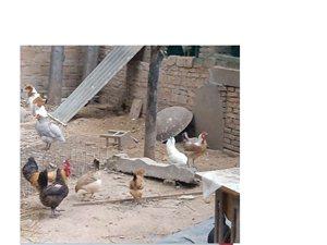 出售柴鸡,新鲜柴鸡蛋